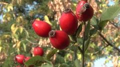 Wild Rose medicinal fruit. Stock Footage