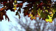 Autumn leafs twin. The two last leafs on a twig. - stock footage