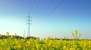 Power line in a Canola field. Stock Footage