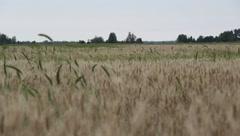 Rustling wheat in a field Stock Footage