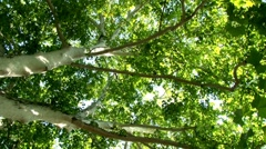 English oak tree, over one hundred and seventy years old Stock Footage