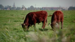 Two cows grazing with pano movement - stock footage