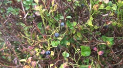 Blueberry bushes Stock Footage