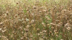 Dried wild grass in windy weather Stock Footage