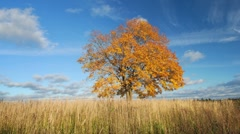Maple tree in autumn Stock Footage