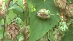 Hops derivative of beer. Stock Footage