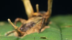Cordyceps fungus attacking a cricket Stock Footage