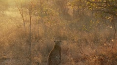Leopard and Hyena Stock Footage