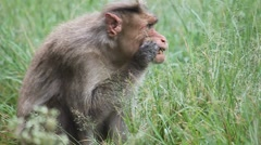 Macaque cleaning its teeth Stock Footage