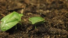 Macro, Green Beetles Stock Footage