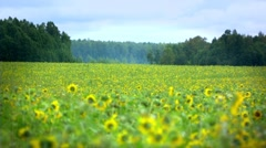 Stock video footage sunflower in breeze - stock footage