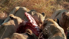 Lions Feeding Stock Footage