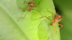 Leaf cutter ants (Atta sp.) - stock footage