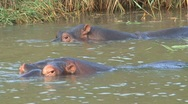Stock Video Footage of Hippo