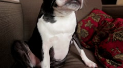 Boston Terrier sitting in chair Stock Footage