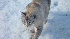 Cute Cat in the Snow Stock Footage