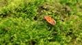Macro, Red Beetles HD Footage