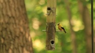Goldfinch eating from a bird feeder Stock Footage