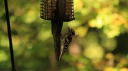 Downy Woodpecker at chows down at bird feeder Stock Footage