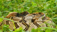 Stock Video Footage of Canebrake Rattlesnake Venomous