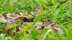 Timber Rattlesnake Pair Stock Footage