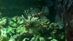 Lionfish 20110925-132628 Stock Footage