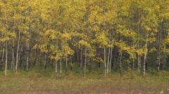 Autumn Aspen Poplars - stock footage