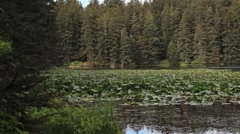 Alaskan Lake Lily Pads Stock Footage