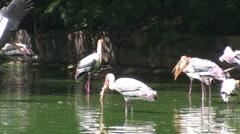 Painted Stork Stock Footage