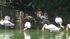 Painted Storks Stock Footage