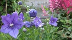 Timelapse Blue Bellflower (Campanula persicifolia) opening Stock Footage