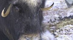 Close up of a muskox female Stock Footage