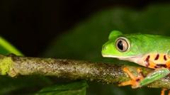 Tiger-striped Leaf Frog (Phyllomedusa tomopterna) Stock Footage