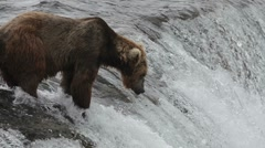 Alaskan brown bear fishing for salmon Stock Footage