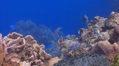 Stoplight Parrotfish, caribbean reef Stock Footage