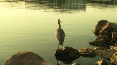 Heron on seashore fishing Stock Footage