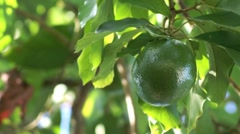 avocado hanging in tree blown by soft breeze - stock footage
