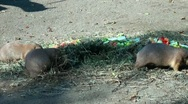 Stock Video Footage of Group of Marmots eating carrots