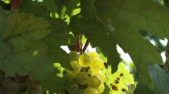White wine grapes Stock Footage