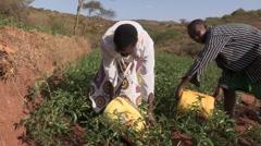 Kenya: Hand Irrigation of Tomatoe Crop Stock Footage