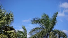 Panning across Palm Trees in the Breeze - stock footage
