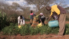Kenya: Irrigating the Tomato Crop - stock footage