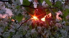 Sunburst Thru Cherry Tree Blossoms Stock Footage