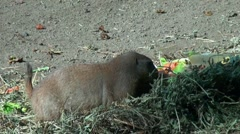 Marmot close up eating hay and fruits Stock Footage
