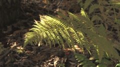 Slanting Sunlight Dappled Fern Stock Footage