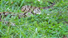 Timber Canebrake Rattlesnake Venomous - stock footage