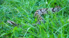 Timber Canebrake Rattlesnake Venomous - stock footage