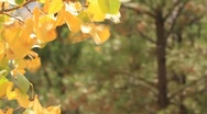 Aspen branch with leaves in fall colors Stock Footage