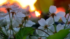 Wild Cherry Tree Blossoms Close Up Stock Footage