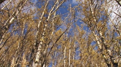 Autumnal Birch Forest - dolly and pan 1 Stock Footage